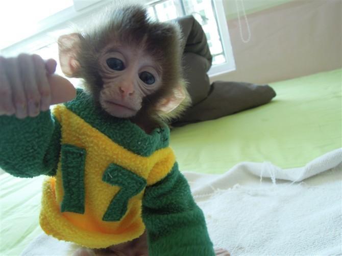 全国可以空运送猴,宠物猴,迷你猴,袖珍猴,猕猴,石猴,猴子,猴,小猴子